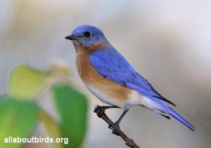 eastern_bluebird_allaboutbirds